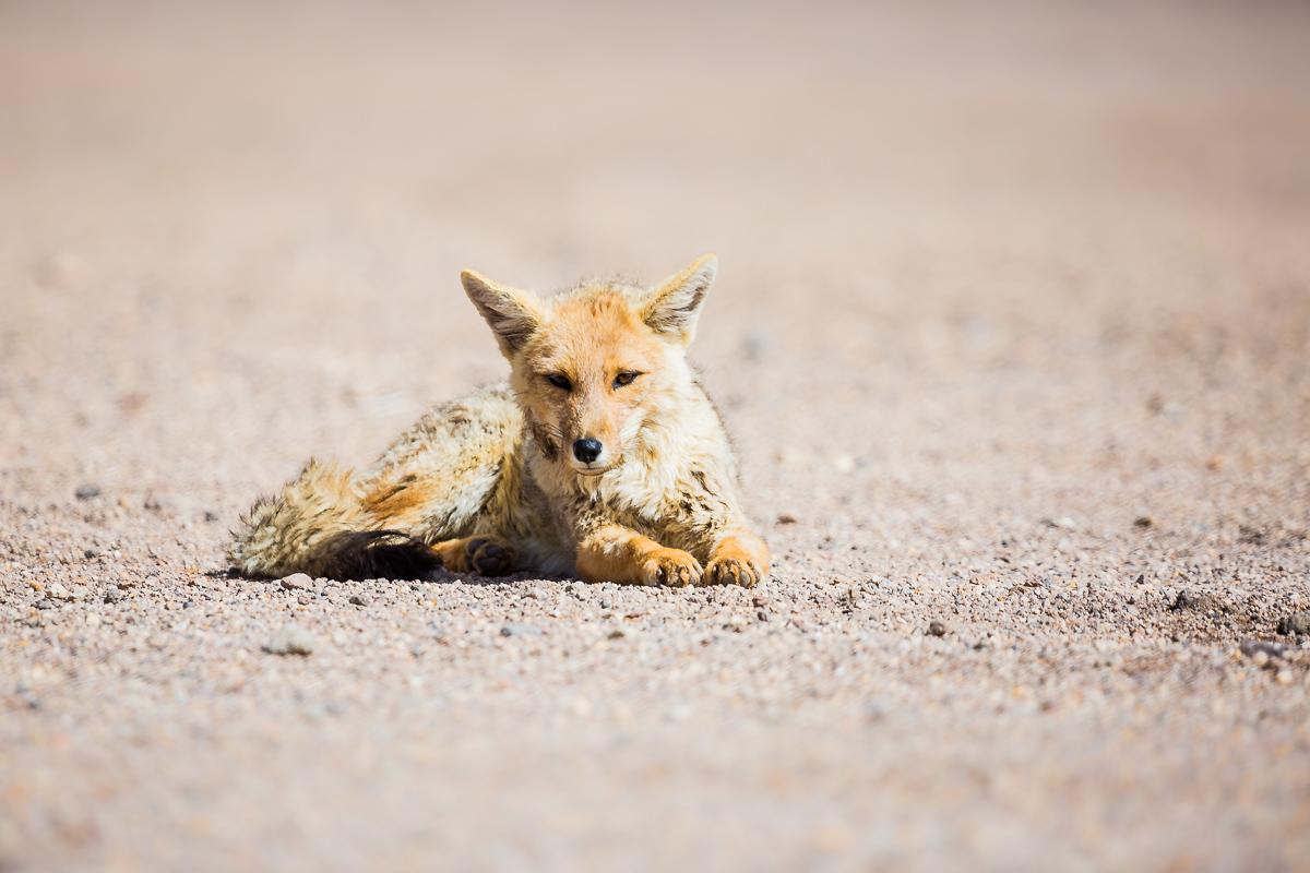 zorro-fox-raposa-bolivia-eduardo-avaroa-national-park-arbol-de-piedra-wildlife-animals-bolivian-fauna-photographer.jpg
