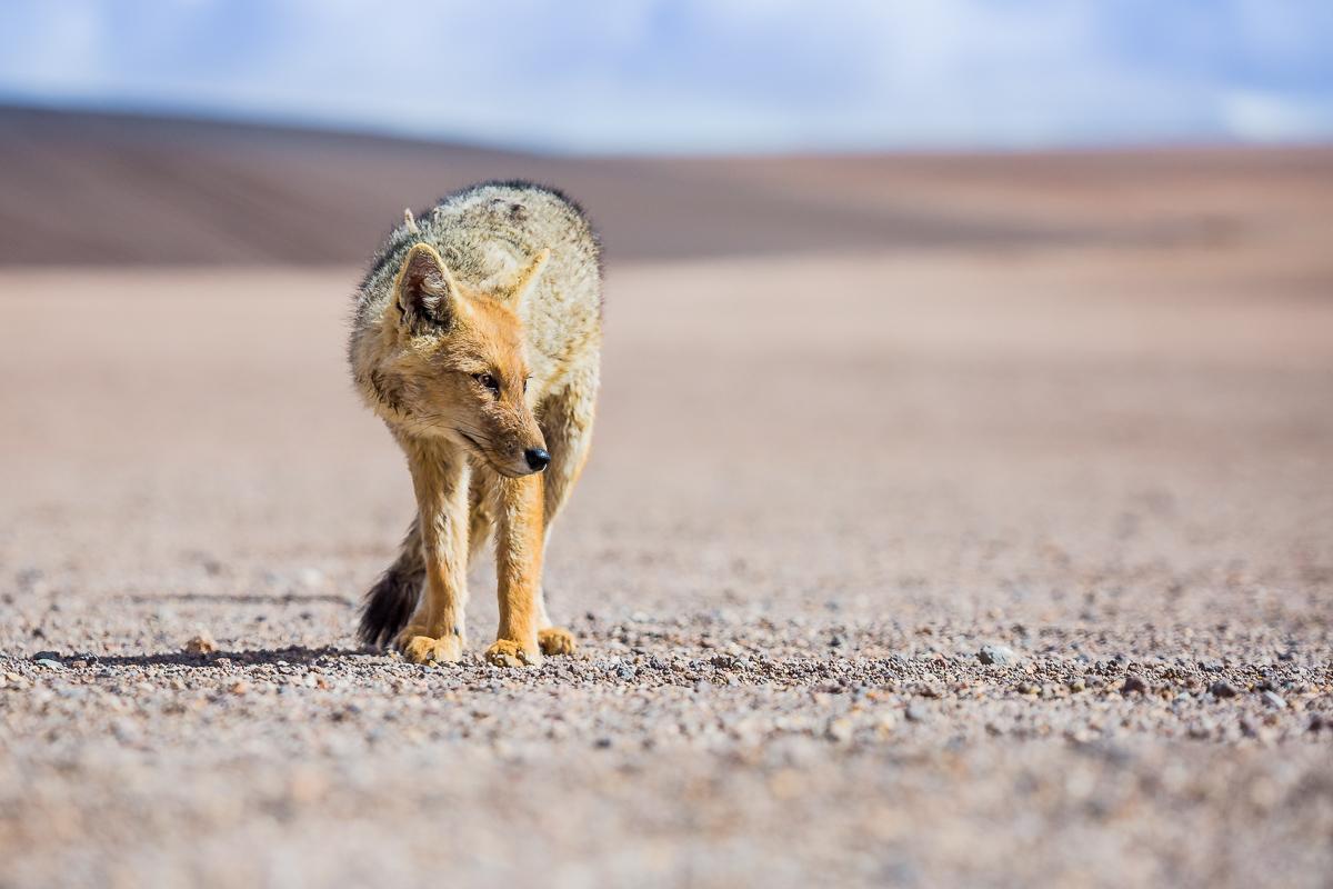 zorro-fox-bolivia-vulpes-andean-fauna-eduardo-avaroa-national-park-andean-wildlife-travel-photography-expedition.jpg