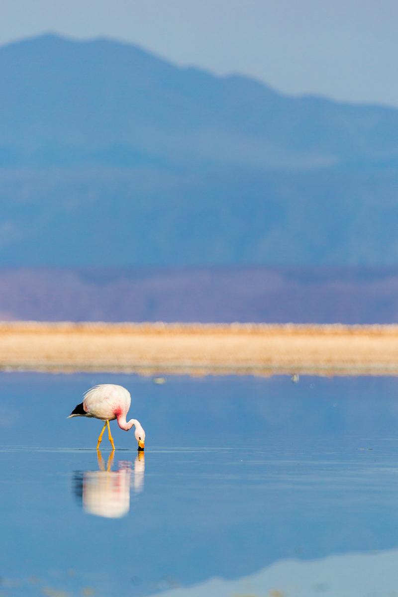 flamingo-lagunas-altiplanicas-lagoons-andean-atacama-chile-flamingo-widlife.jpg