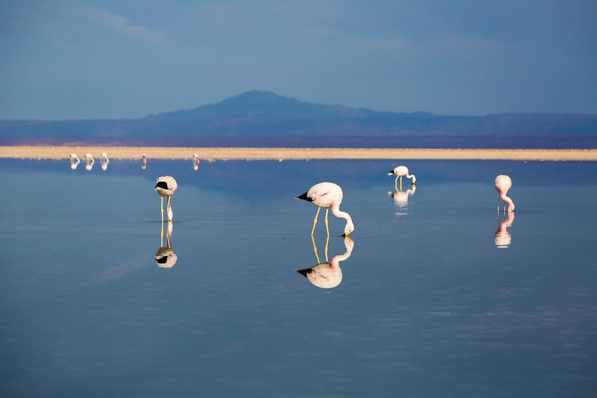 flamingos-flamingoes-feeding-foraging-south-america-chile-atacama-desert-lagunas-altiplanicas-altiplane-lagoons.jpg