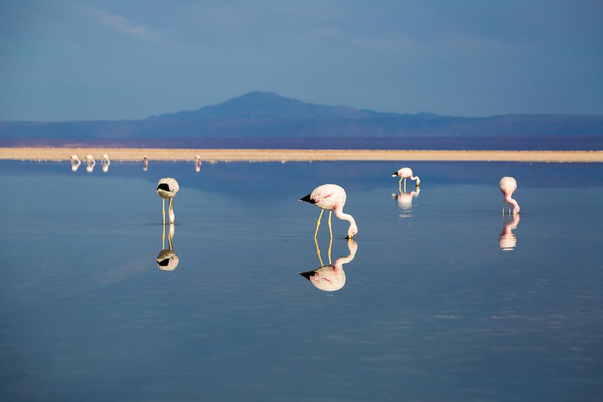 flamingos-flamingoes-feeding-foraging-south-america-chile-atacama-desert-lagunas-altiplanicas-altiplane-lagoons.jpg
