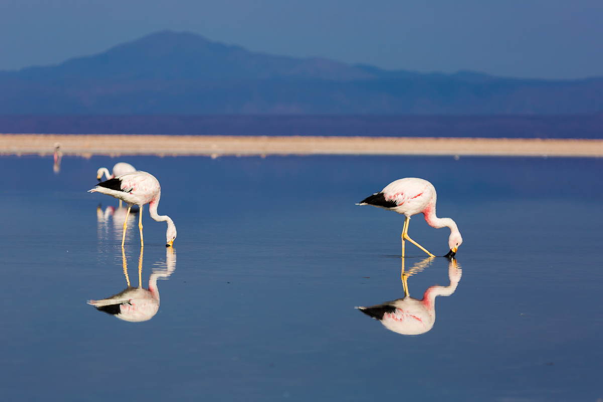 flamingos-flamingoes-atacama-desert-wildlife-photography-chile-birds-avian-pink-blue.jpg