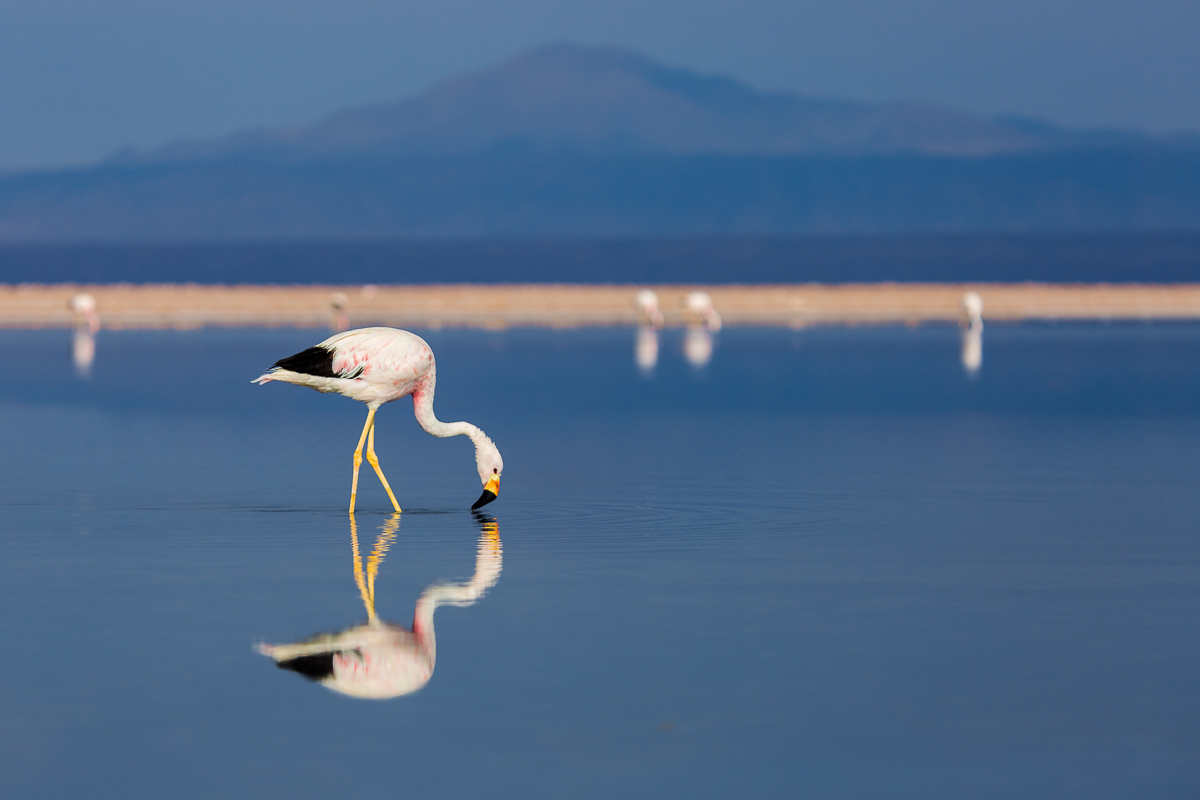 flamingo-wildlife-lagunas-altiplanicas-chile-wildlife-south-america-lagoons-flamingoes-wildlife-amalia-bastos-photography.jpg