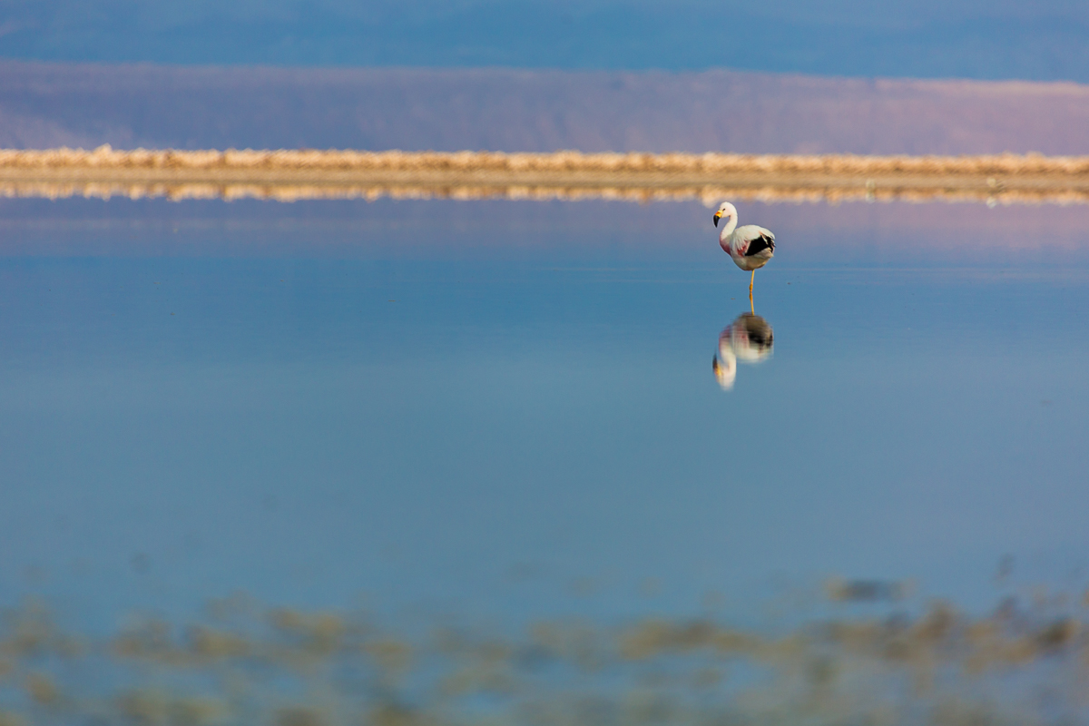 flamingo-wildlife-chile-south-america-lagoon-altiplanica-lagunas-wildlife-photography.jpg