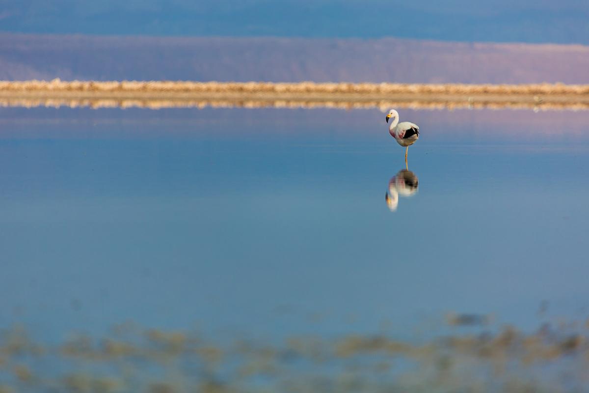 flamingo-wildlife-chile-south-america-lagoon-altiplanica-lagunas-wildlife-photography.jpg