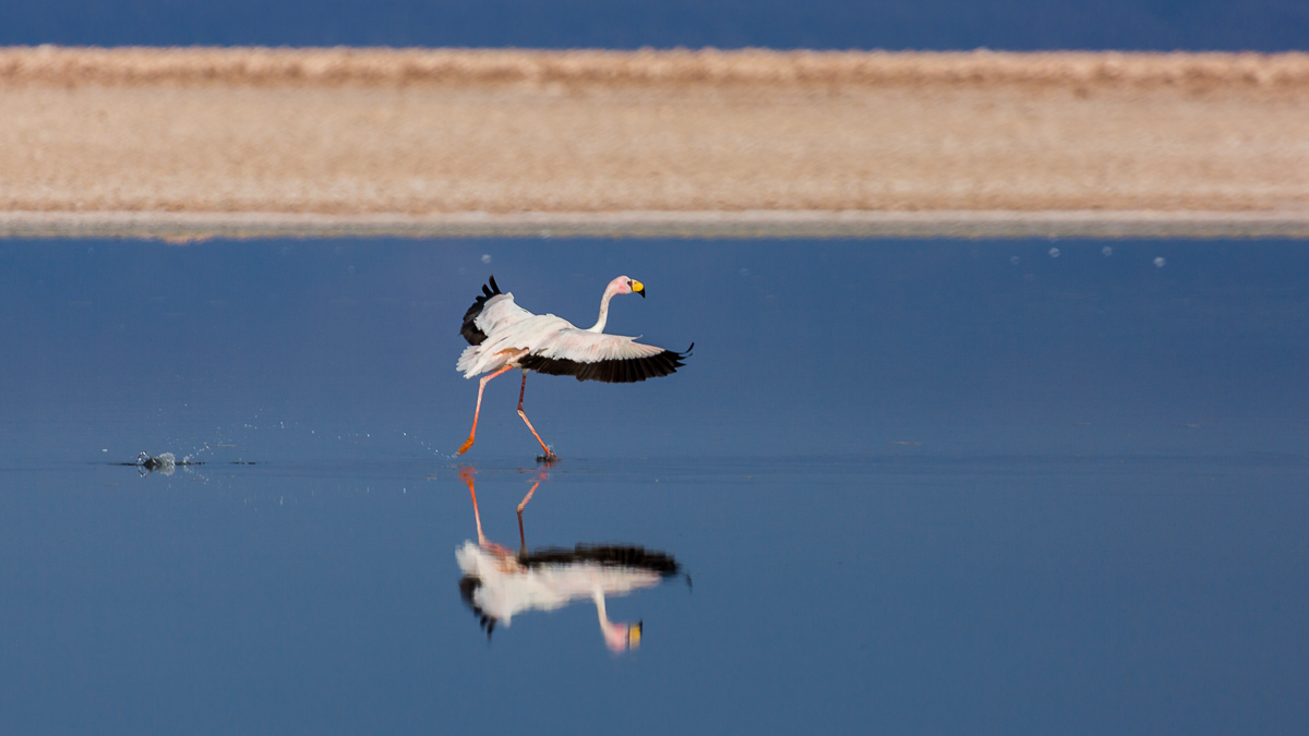 flying-flamingo-landing-altiplanicas-lagunas-chile-south-america-lagoons-wildlife-photography.jpg
