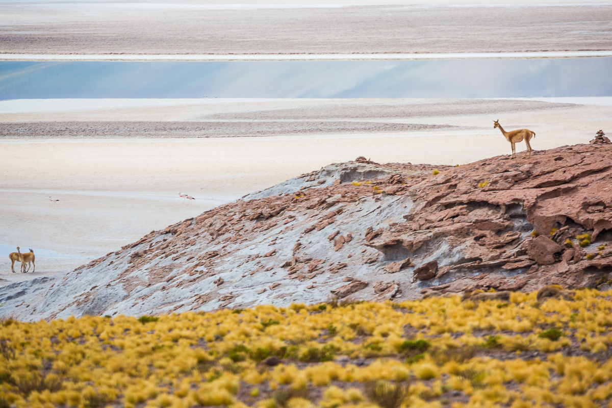 guanaco-atacama-desert-photography-south-america-chile-landscape-photographer-wildlife.jpg