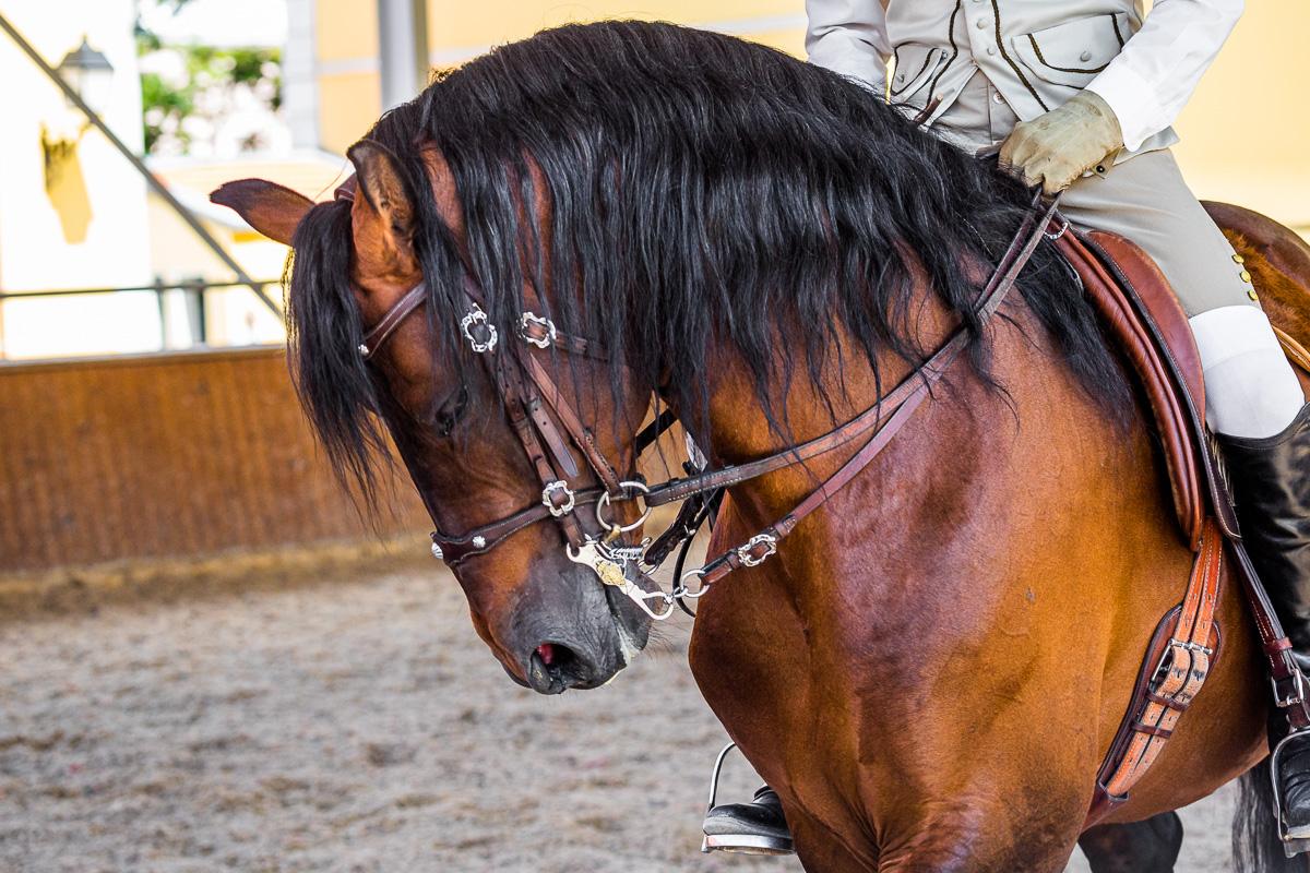 lusitano-horse-dressage-portugal-lisbon-portuguese-school-equestrian-horse-arte-equestre-training.jpg