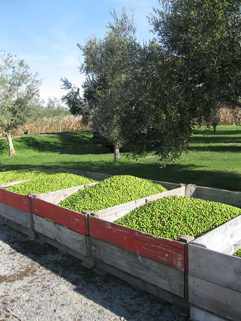 hawkes-bay-olives-on-hunter-gatherer-tours-with-Juliet-Harbutt