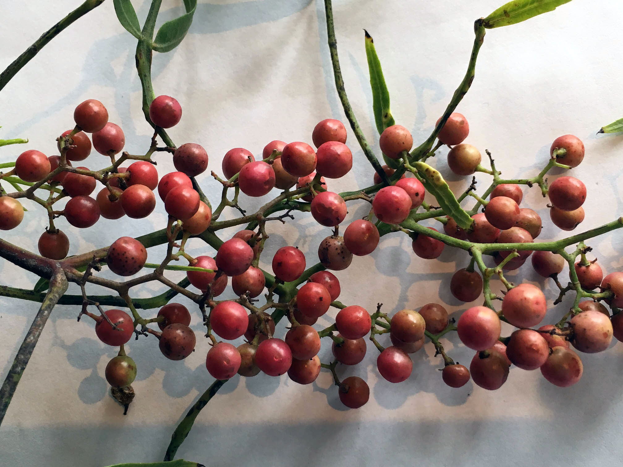 Foraged-pink-peppercorns-Hawkes-Bay