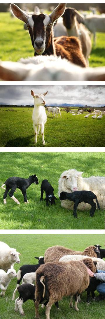 goats_sheep_new4.jpg