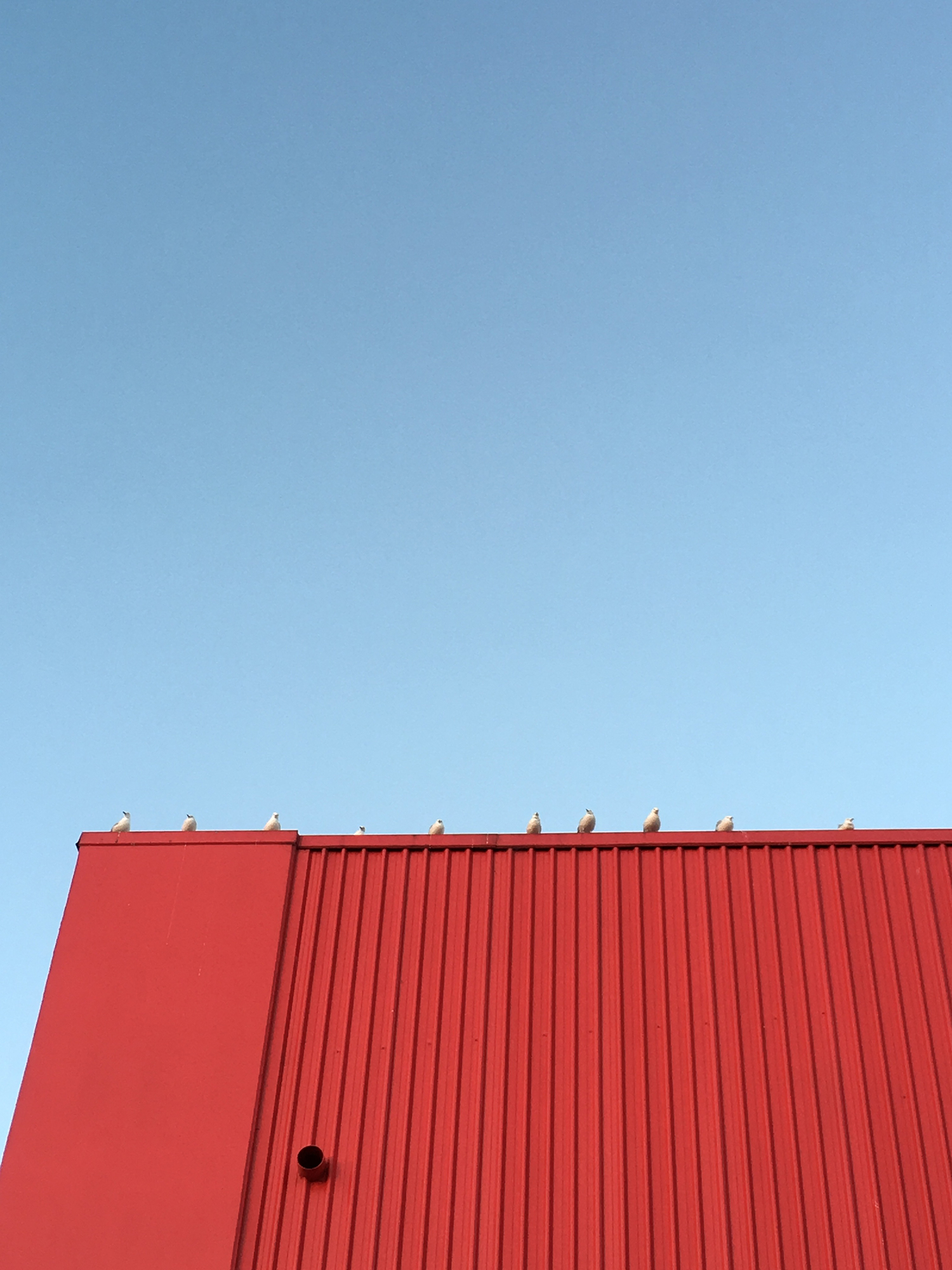 Birds on a red roof in Pakuranga, Auckland, New Zealand