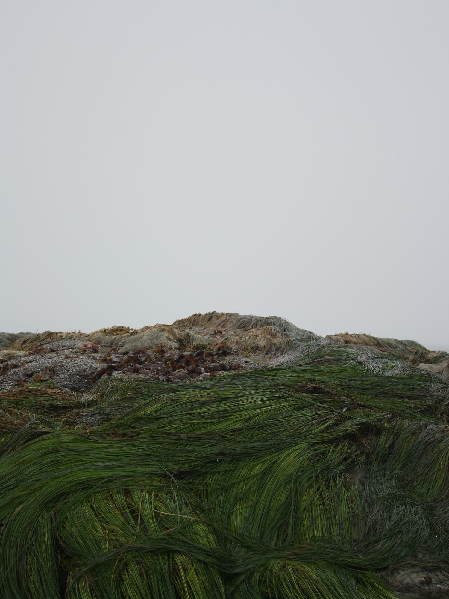 Seaweed on the rocks at the MacKenzie Beach in Tofino, BC, Canada