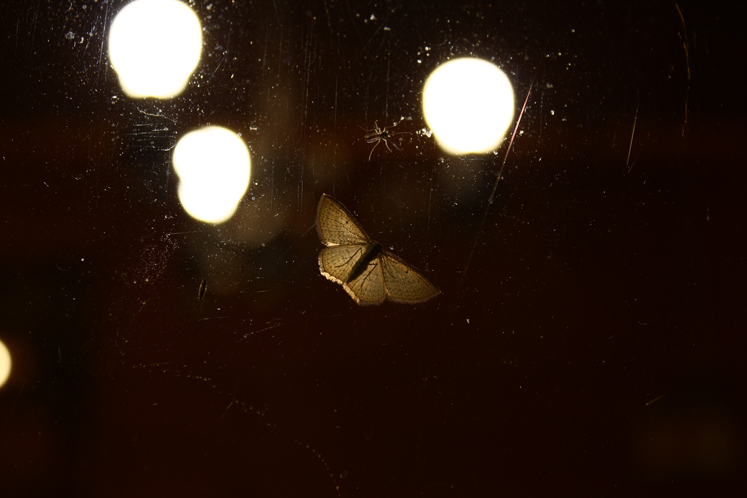 Moth in the lights, Lake Tarawera, New Zealand