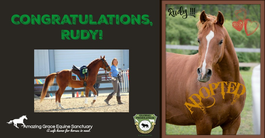 We're beyond elated to announce . . . Rudy has been adopted! Congratulations,  Mandy Sue  and Rudy!!! Their bond began as Mandy Sue found herself with the job of training Rudy for the Midwest Rescue Horse Trainers Challenge, and the rest is history! We look forward to seeing these two continue their journey!  Mandy was so very impressed with the easy way Rudy would meet visitors at the fairgrounds Saturday, she realized he loves the public forum. His purpose in life is larger than a backyard trail horse or 4h!! She is creating his own Facebook page and Rudy will now travel with Mandy to Horse events as an ambassador for Horse Rescue!! Rudy's following will soon become enormous!! We always knew as the only survivor of 60 neglected seized horses, that God had a higher purpose in mind for him! Now finally 5 years later that purpose is being realized!!! Continue to follow his and Mandy's journey through www.livingdreamsfarm.com