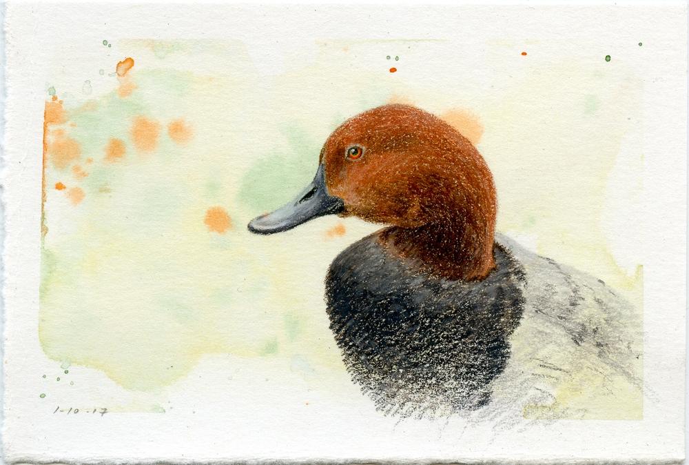 Common Pochard Duck
