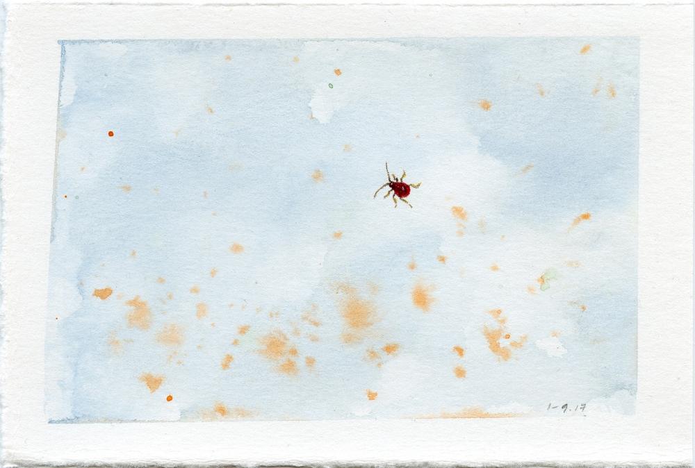 Spider Beetle