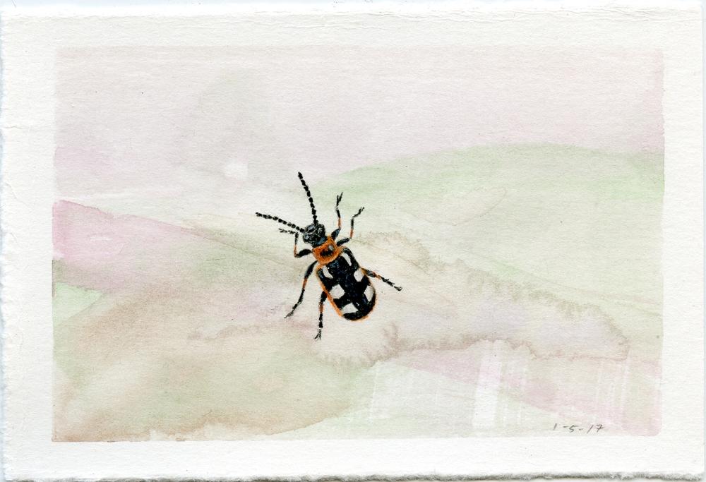 Common Asparagus Beetle