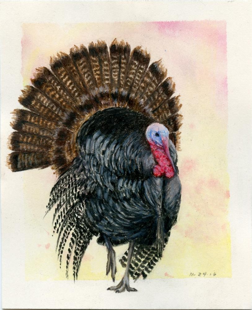 Male Wild Turkey