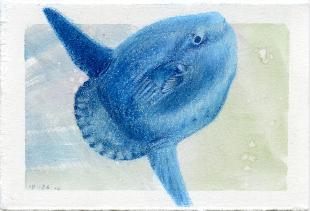 Mola Mola or Ocean Sunfish