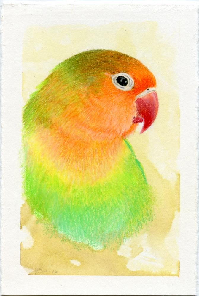 Fischer's Love Bird