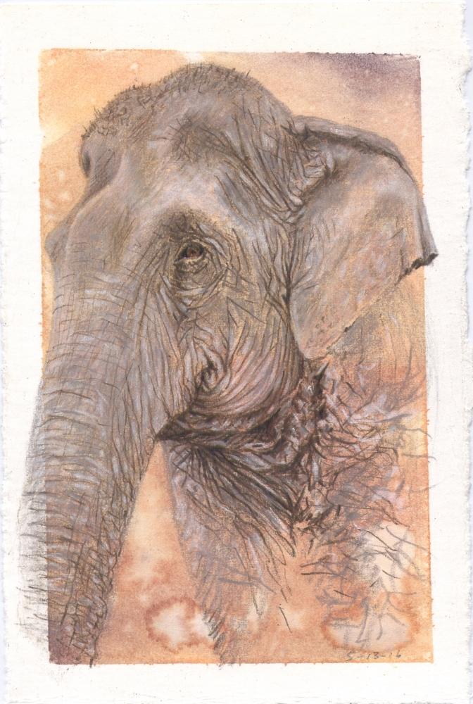 Asian Elephant (Wassana)