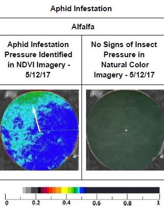 Aphid Infestation-Alfalfa.JPG