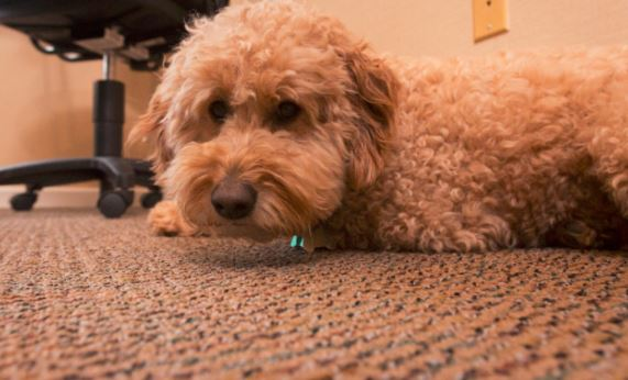 Beau, a goldendoodle, comes to the office most days with his owners Drue and Allen Ray. He is a big fan of the office snacks.