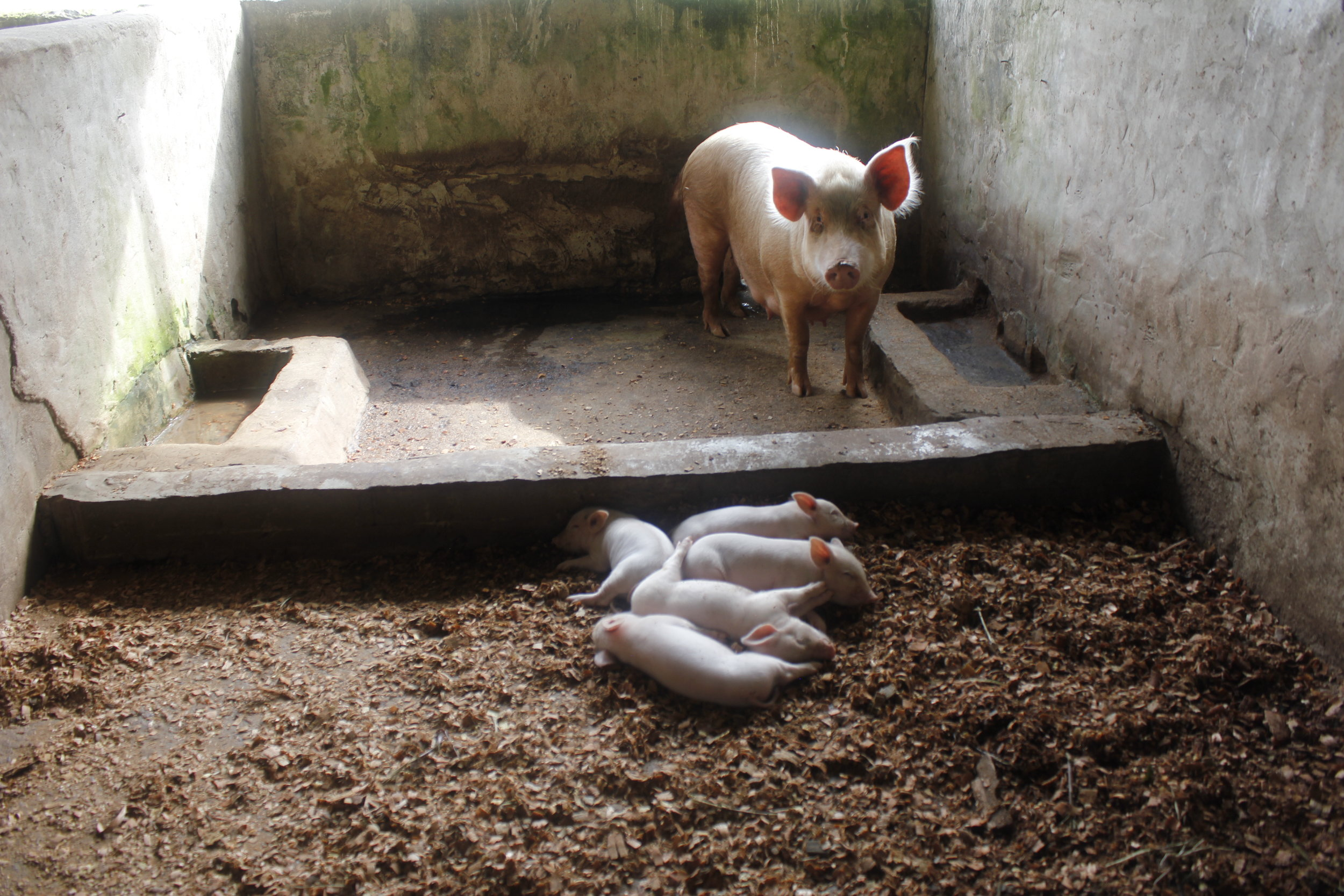 The Piggery Also Gives Students The Opportunity to Learn Animal Husbandry Skills