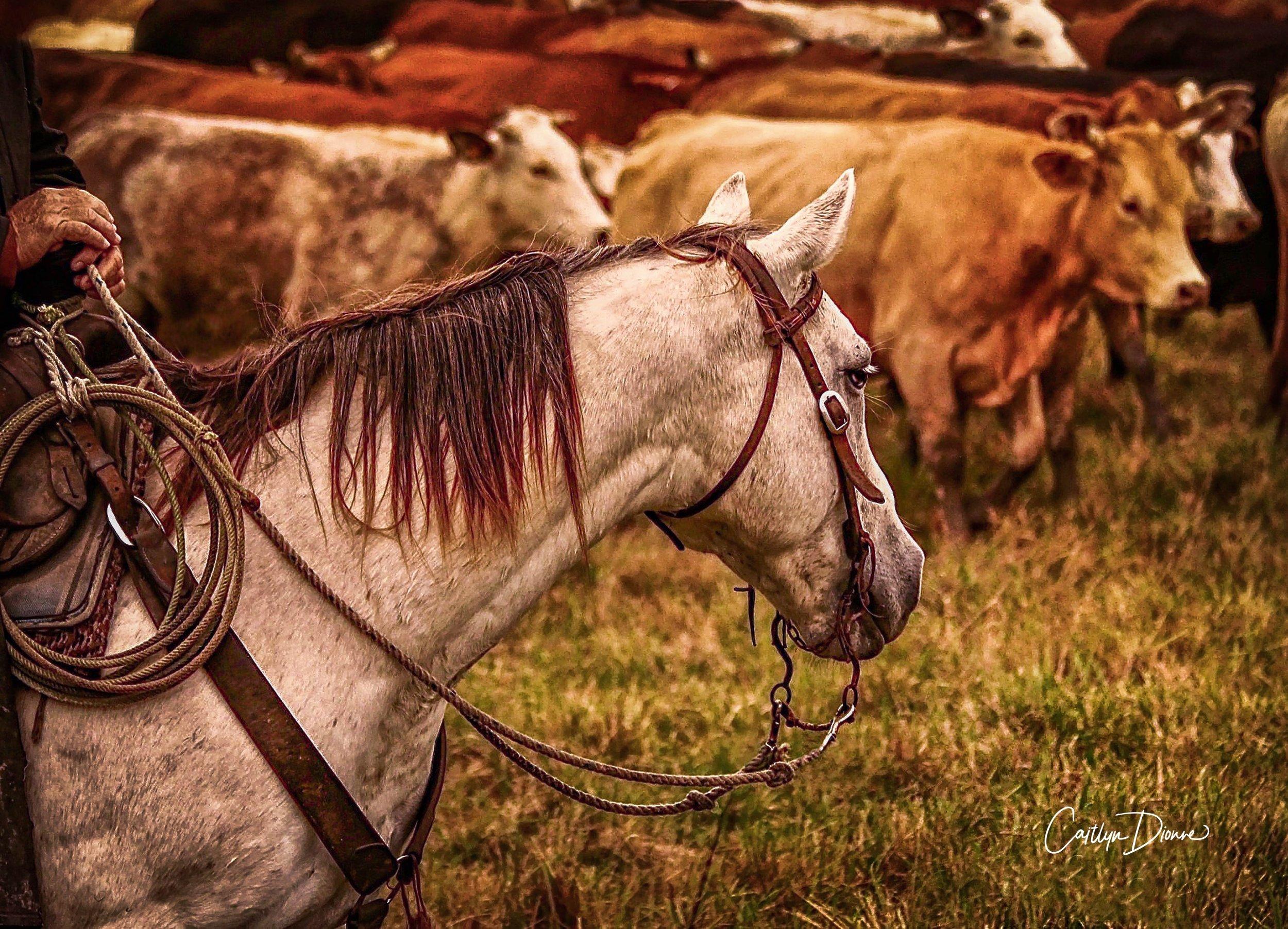 Cow Horse Reminiscing.7.2018.jpg