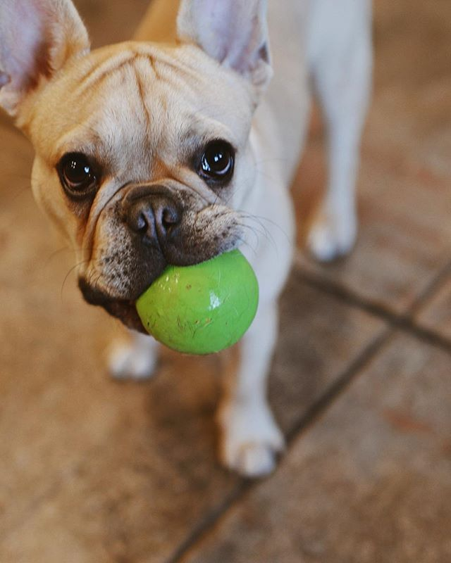 🐾We're here and ready to play🐾 . . . #coffeeshop #astoriaqueens #dogsofinstagram #astorialife #astoria #dogcafe #dogcoffee #frenchies_ #frenchie_photos