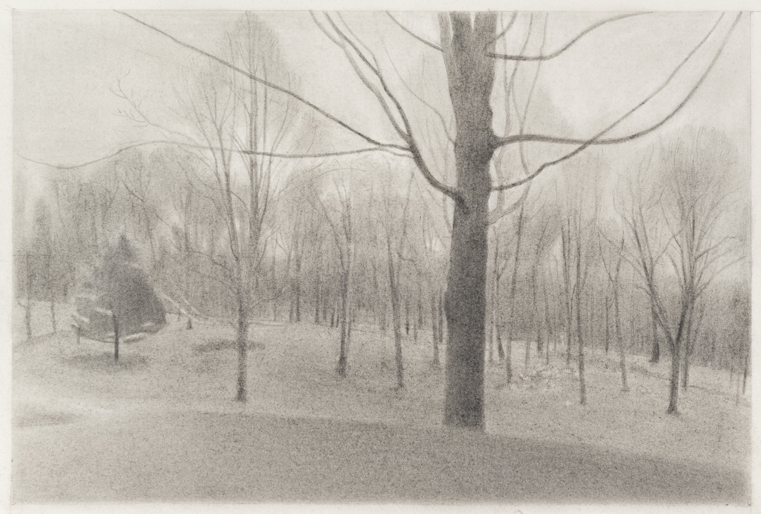 Maple and Cedar , 2017  pencil on paper   12 x 18 inches