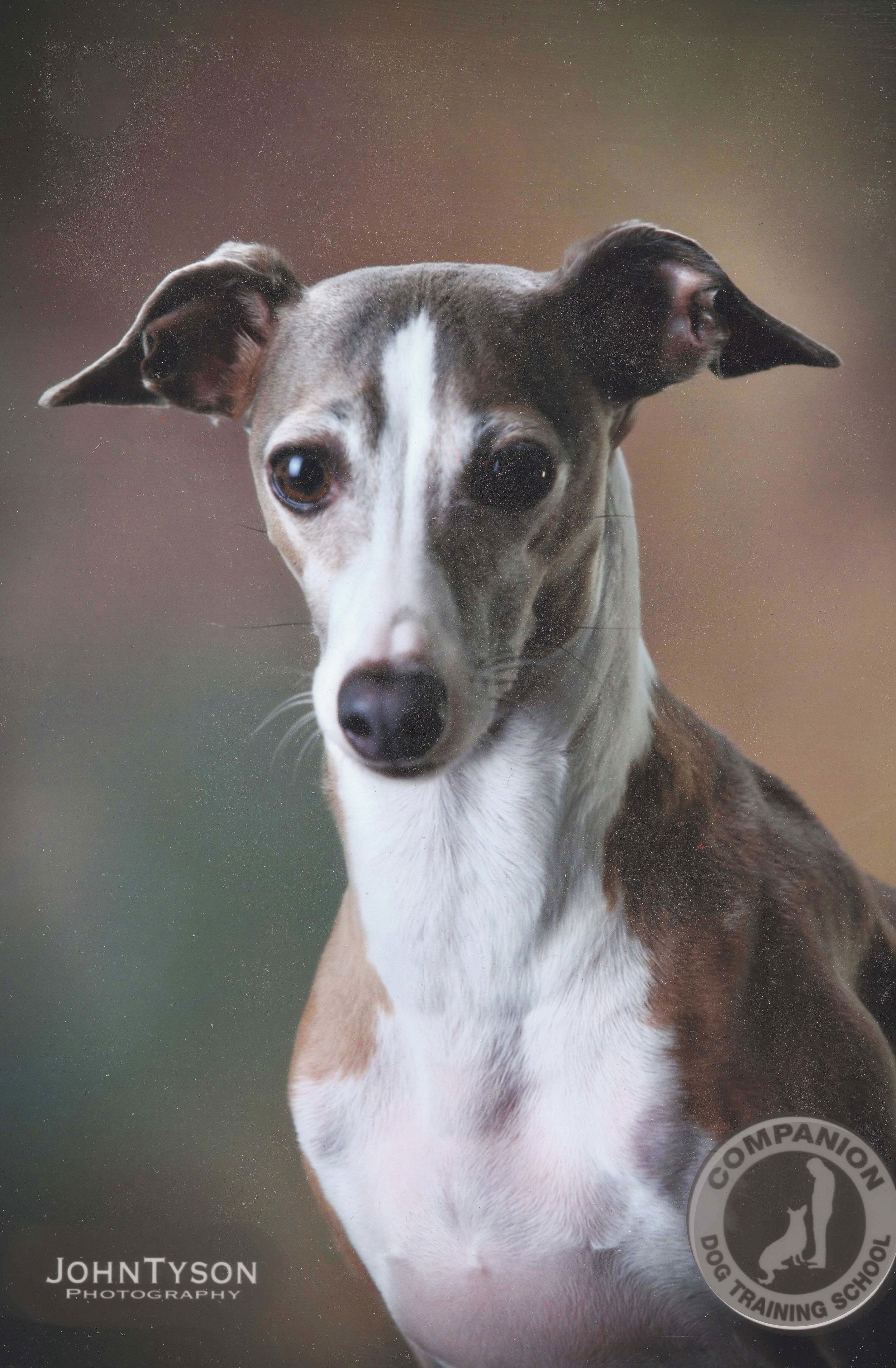 Sunny   , an Italian greyhound, was an abandoned pup who literally danced on her hind legs when she was adopted! She loves people and especially kids.