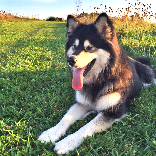 Willa    is a three-year-old Malamute who is best described as a social butterfly. She is very curious and loves everyone she meets!