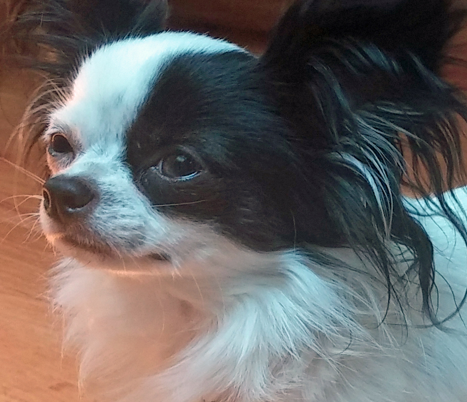 Pip    is a funny and affectionate long-haired Chihuahua. He who loves to chase down and return balls small enough to fit in his little mouth!