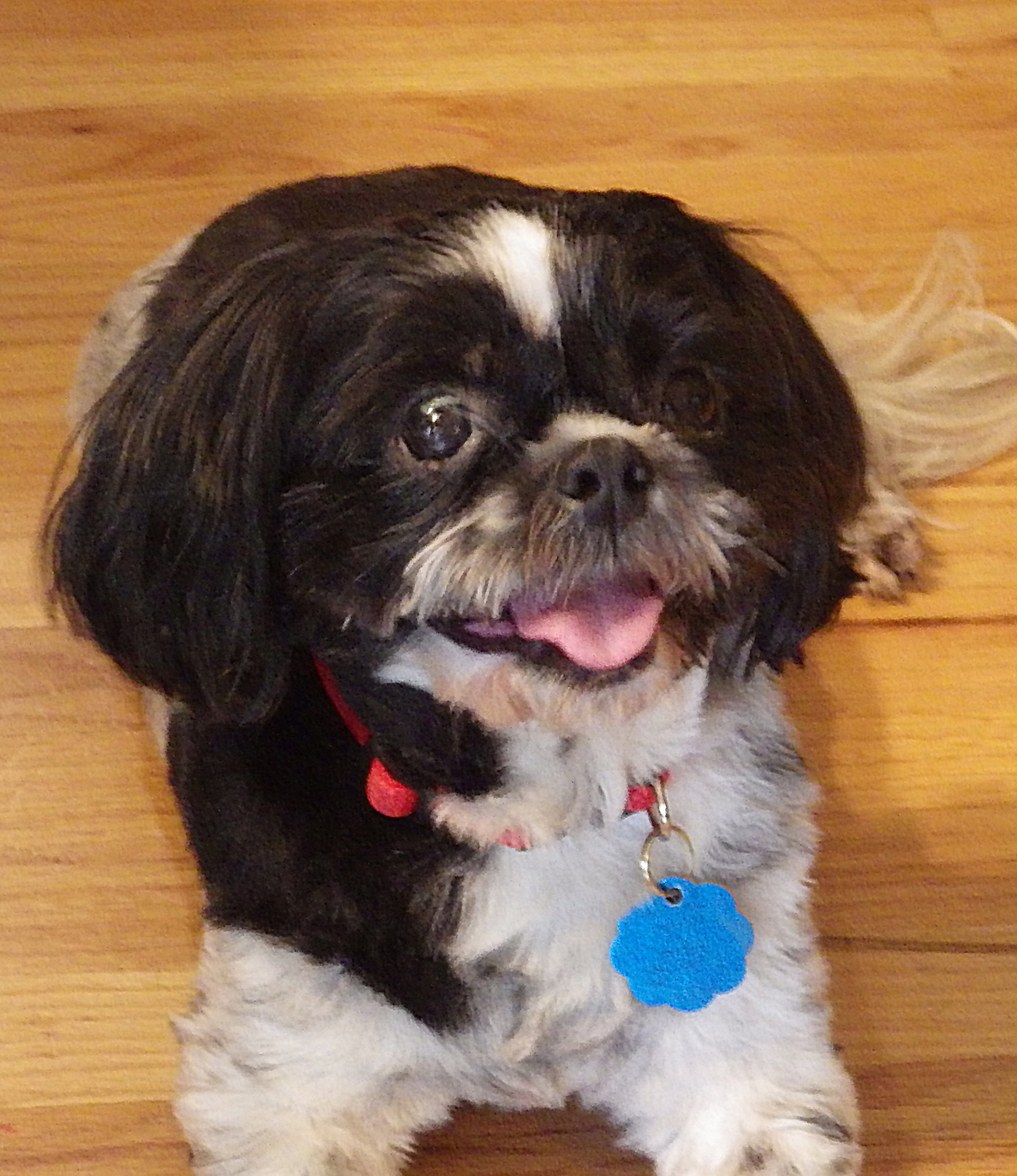 "Tashi    is a sweet and delightfully cute nine-year-old Shih-Tzu who loves everyone and other dogs. Her name means ""Fortunate"" in Tibetan."
