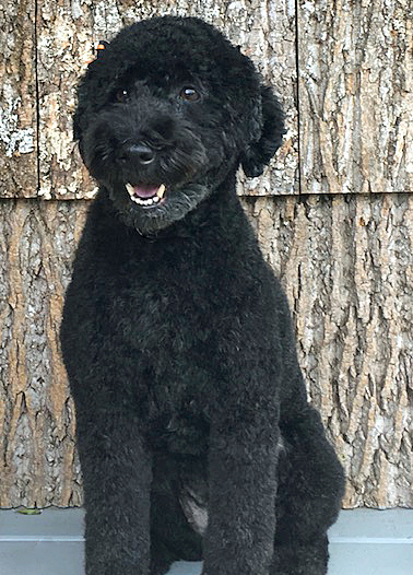Jolie    is a Mini-Whoodle (1/2 Soft-coated Wheaten Terrier and 1/2 Miniature Poodle)! She loves to run, play, and have stories read to her.