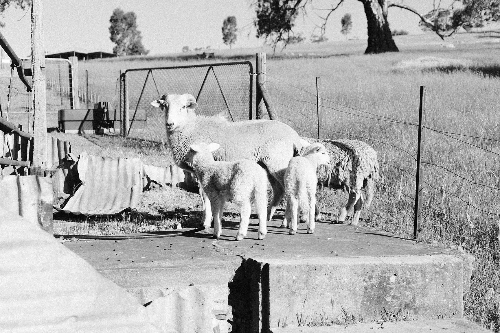 Little lambs <3