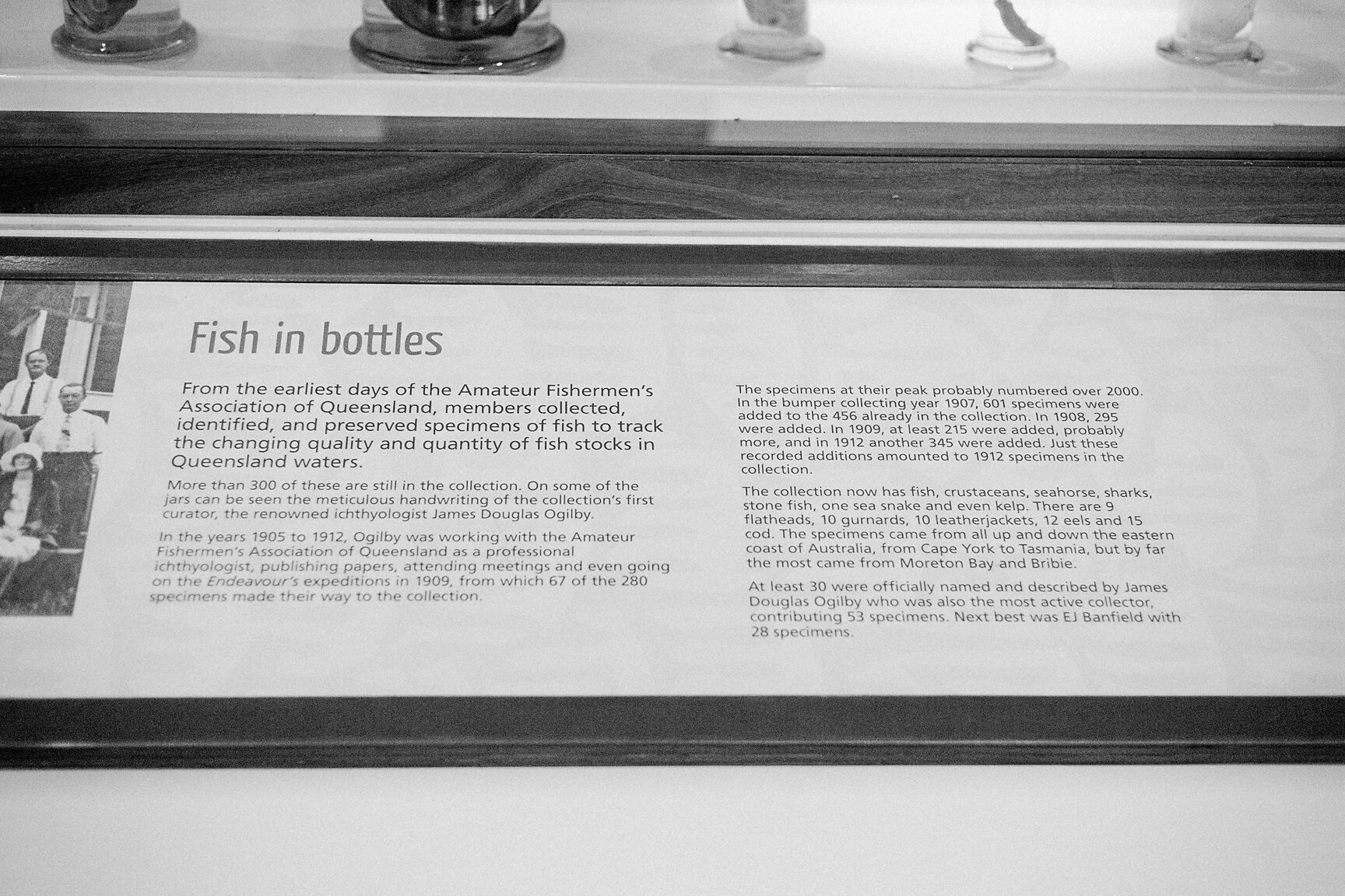 Fish in bottles  From the earliest days of the Amateur Fishermen's Association of Queensland, members collected, identified, and preserved specimens of fish to track the changing quality and quantity of fish stocks in Queensland waters.  More than 300 of these are still in the collection. On some of the jars can be seen the meticulous handwriting of the collection's first curator, the renowned ichthyologist James Douglas Ogilby.  In the years 1905 to 1912, Ogilby was working with the Amateur Fishermen's Association of Queensland as a professional ichthyologist, publishing papers, attending meetings and even going on the  Endeavour's  expeditions in 1909, from which 67 of the 280 specimens made their way to the collection.  The specimens at their peak probably numbered over 2000. In the bumper collecting year 1907, 601 specimens were added to the 456 already in the collection. In 1908, 295 were added. In 1909, at least 215 were added, probably more, and in 1912 another 345 were added. Just these recorded additions amounted to 1912 specimens in the collection.  This collection now has fish, crustaceans, seahorse, sharks, stone fish, one sea snake and even kelp. There are 9 flatheads, 10 gurnards, 10 leatherjackets, 12 eels and 15 cod. The specimens came from all up and down the eastern coast of Australia, from Cape York to Tasmania, but by far the most came from Moreton Bay and Bribie.  At least 30 were officially names and described by James Douglas Ogilby who was also the most active collector, contributing 53 specimens. Next best was EJ Banfield with 28 specimens.