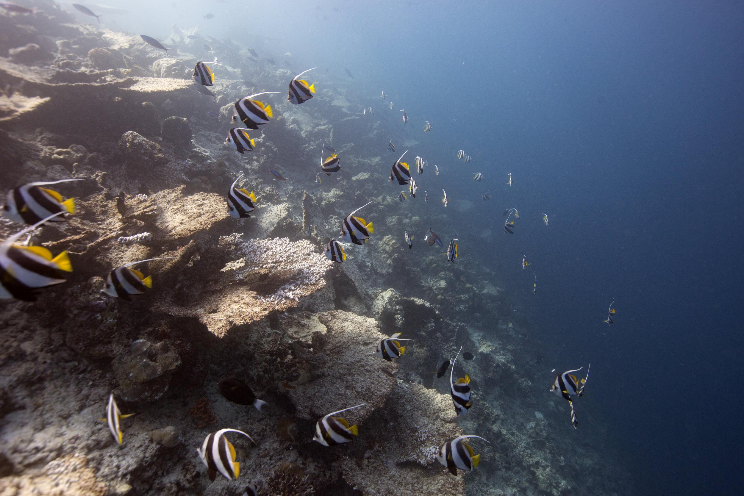 Schooling bannerfish ( Heniochus diphreutes ) swimming past dead table corals