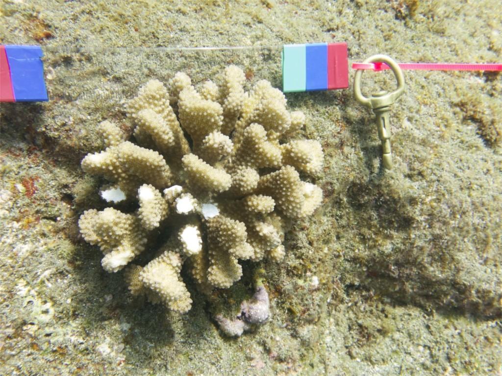 P. meandrina sample
