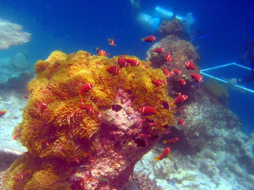 Large clown fish colony