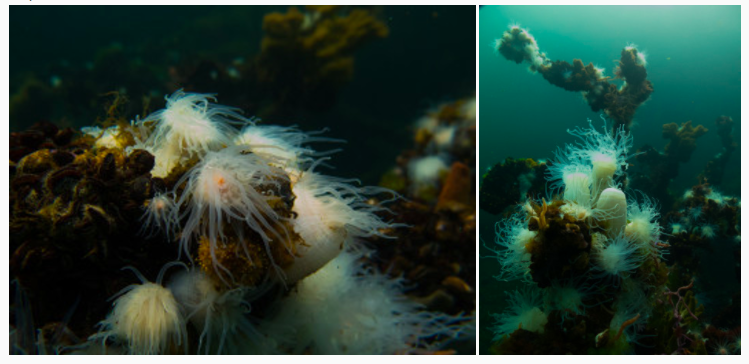 These anemones prey upon jellyfish that drift to the end of the pond