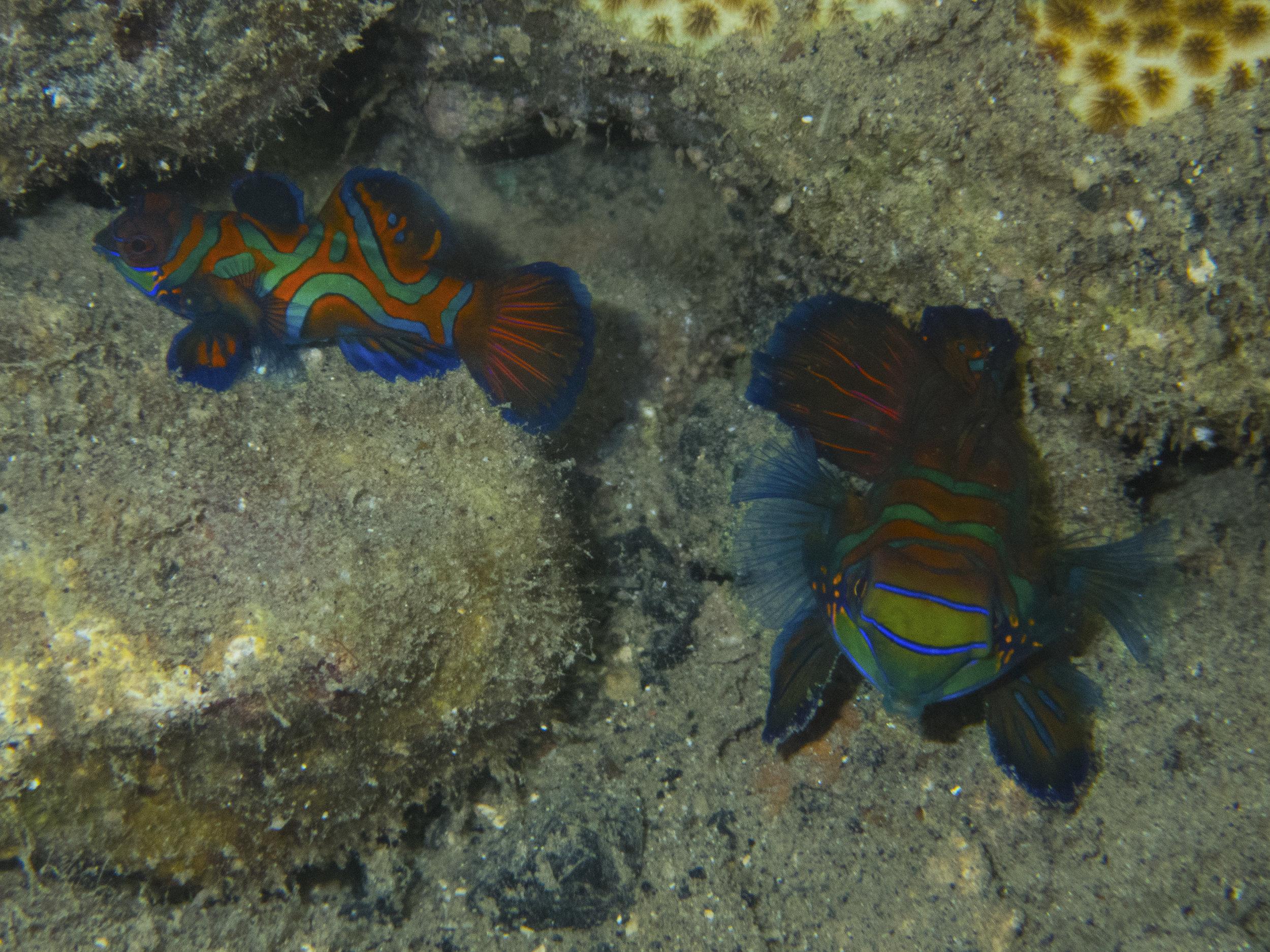 Mandarin fish (2.5 inch)