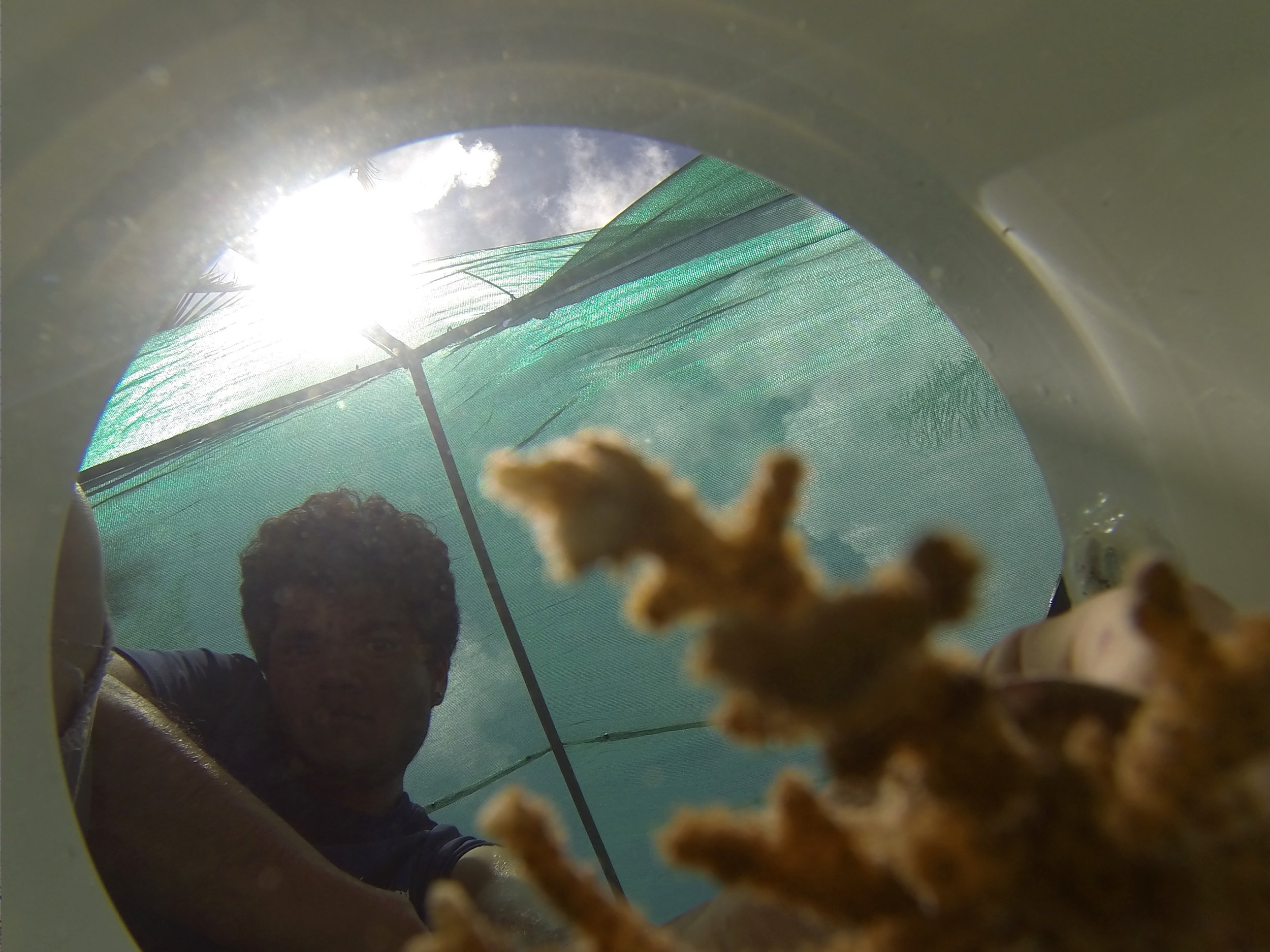 The author peers into a bucket containing a colony of  Montipora capitata , or rice coral. (Photo: S. Matsuda)