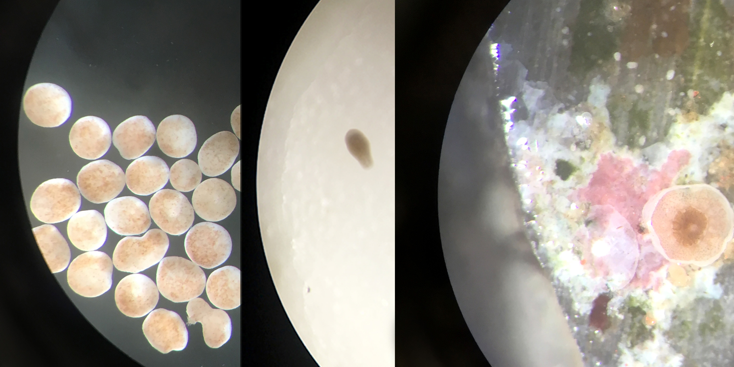Microscopic view of rice coral embryos (left), swimming larvae (middle), and settle spat (right). Not to scale. (Photo: S. Matsuda)