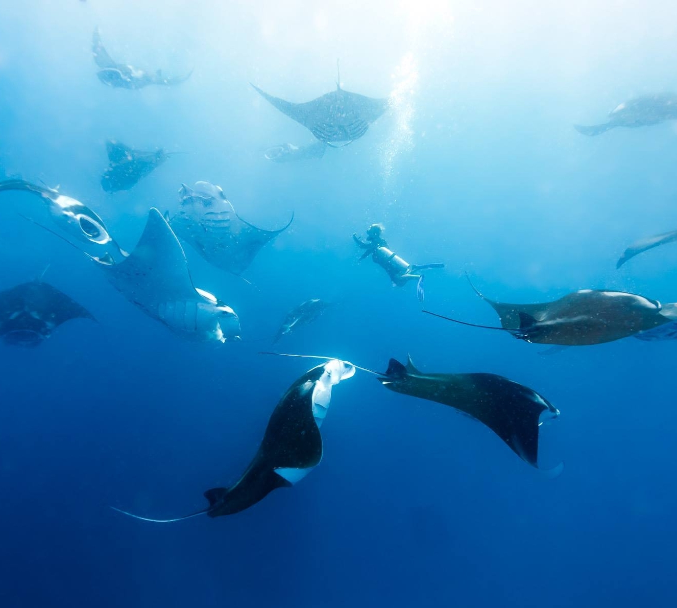 Manta rays surrounding dive team member, Matt Boyle
