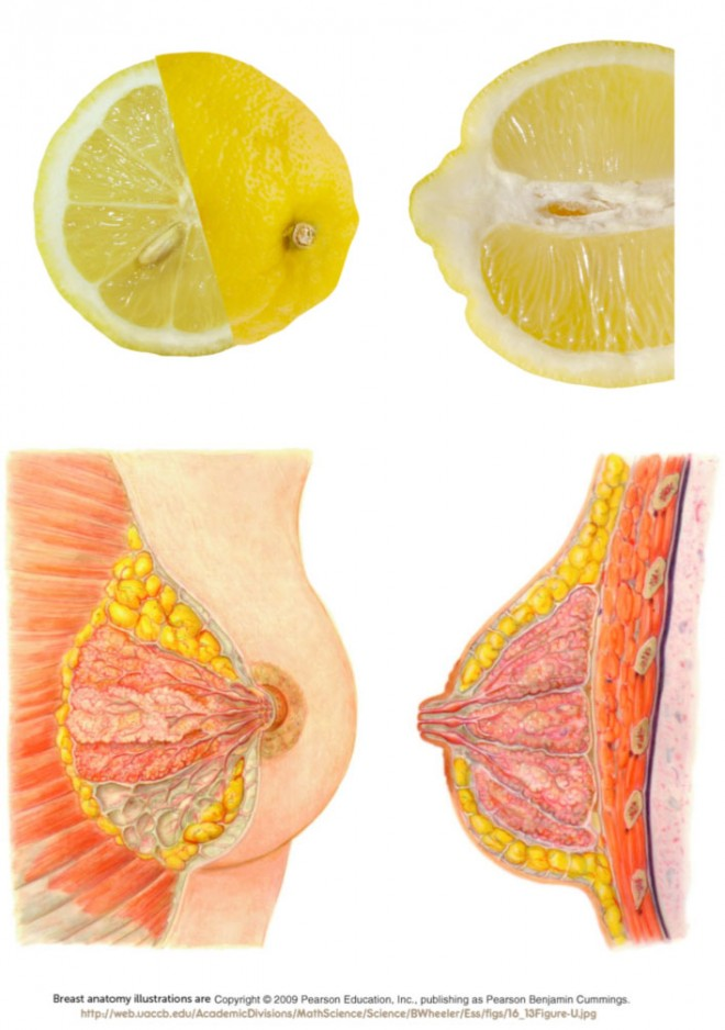 The similarity between a lemon interior and a breast cross-section is remarkable and useful for teaching breast anatomy.