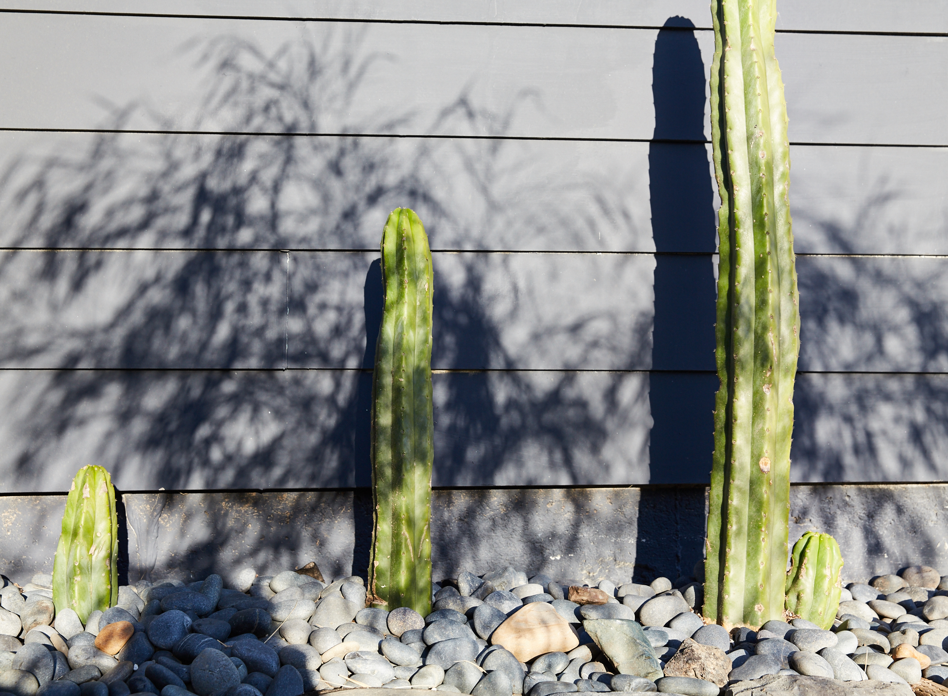 Cacti in Backyard
