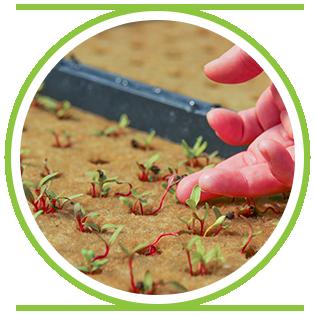 BUY Seedlings -